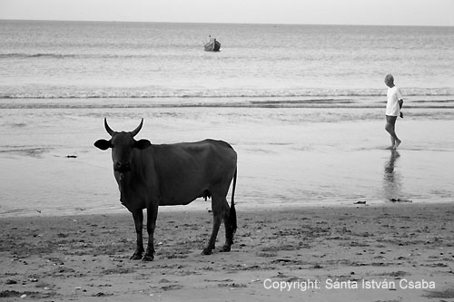 Cow-man in the port of South China See, Vietnam.